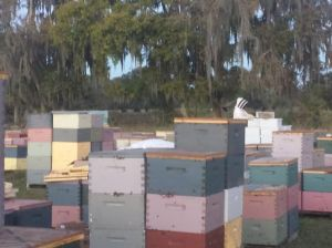 This is a bee yard.  Each set of stacked boxes represents a hive.